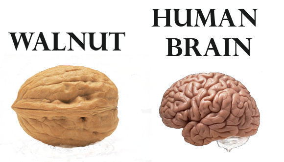 Best Exam Foods - Walnut v Human Brain