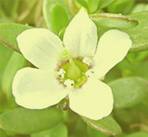 Bacopa Monnieri - Brain Supplement